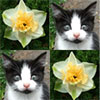 Daffodils and Kittens