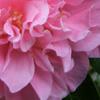 Wattle Woods Camellias