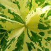 Variegated Mallow Leaf