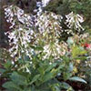 Nicotiana Sylvestris in Flower