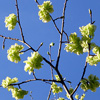 Golden Elm Tree Blossom
