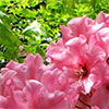 Late Pink Rhododendron