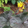Purple Leaf Ligularia
