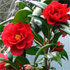 Spring Camellias