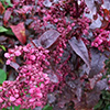Red Orach - Atriplex hortensis