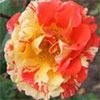 Oranges and Lemons Rose
