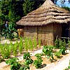 Growing African Vegetables