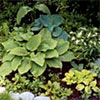 Early Hosta Garden