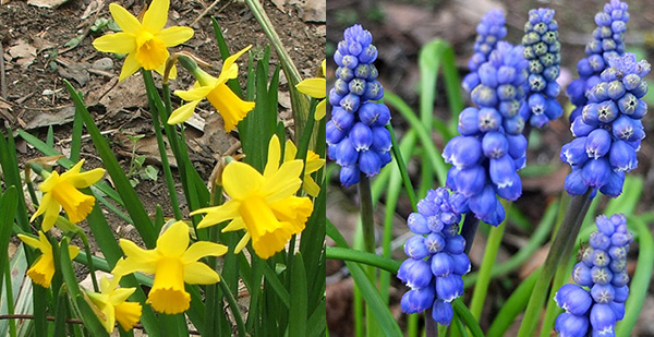 Miniature daffodils and Muscari.