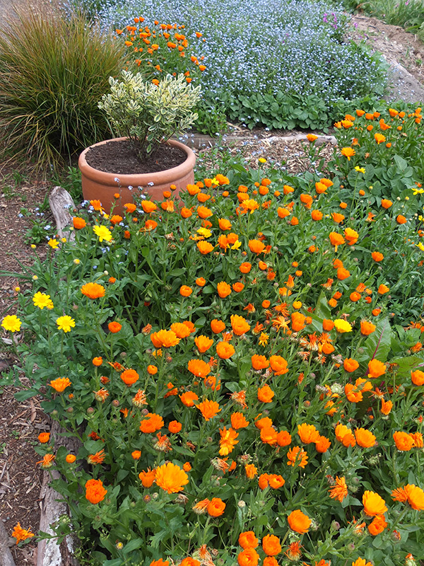 In late spring - Calendulas and Forget-Me-Nots.