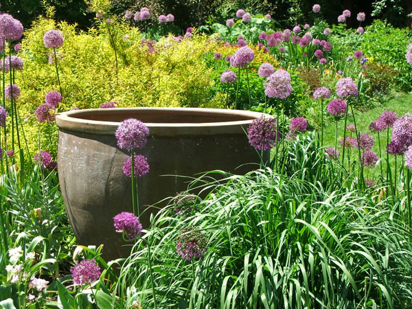I love these purple alliums!