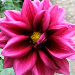 One of a thousand dahlia flowers brightening up the autumn garden.