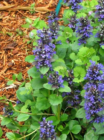 A lovely ground cover, as long as there's water...