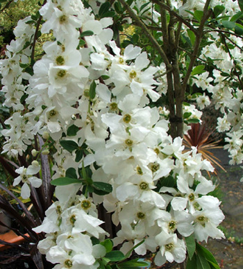 A wonderful white spring shrub.