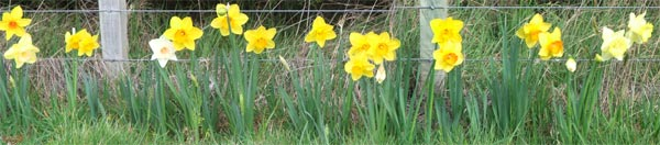 A lovely sight in spring - pity they only cover a third of the fence!