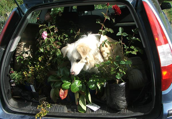 http://www.mooseyscountrygarden.com/gardening-articles/dog-car-boot.jpg