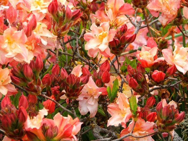 A beautiful double flowering Azalea.