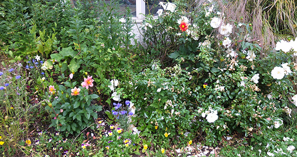 Annuals and messy roses.