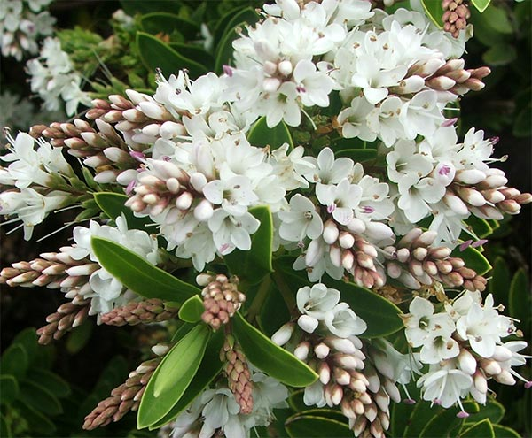 Hebes are lovely shrubs.