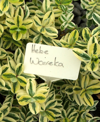A good variegated Hebe, though it can be a little frost and snow tender.