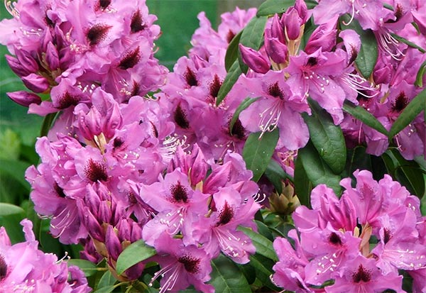 Whatever the name, it is certainly a beautiful rhododendron.