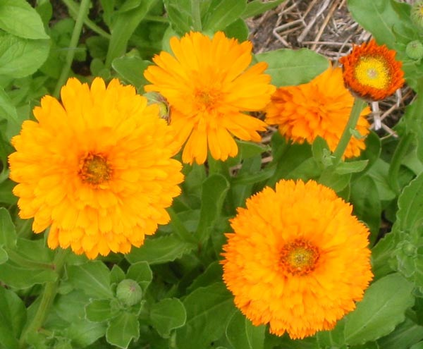 The colour orange glowing in the vegetable garden.