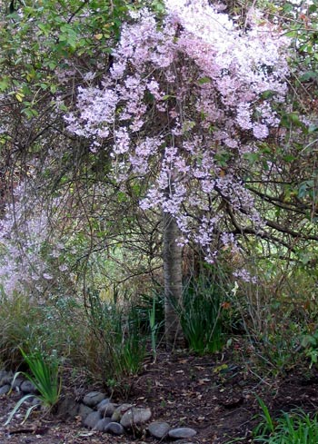 weeping cherry tree pictures. Pink Weeping Cherry Tree
