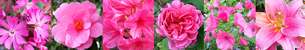 Campion, Camellia, Rhododendron, Rose, Lavatera, Lily