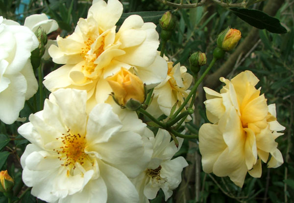 http://www.mooseyscountrygarden.com/gardening-articles/rose-danae.jpg
