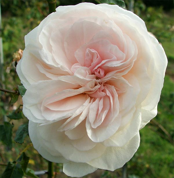 A beautiful late flowering rose.