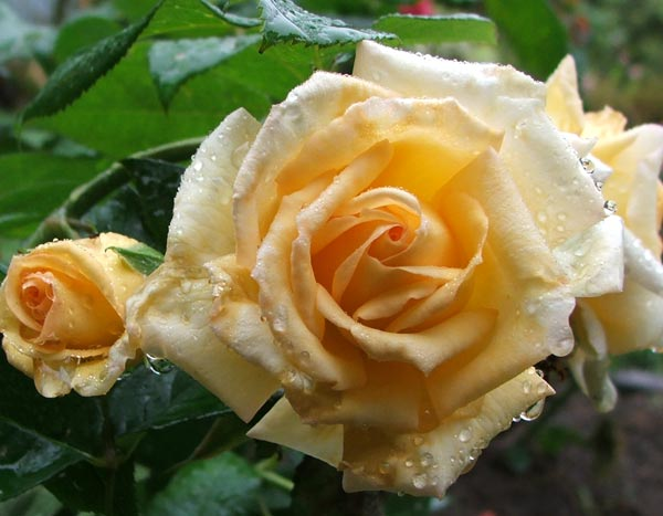 This rose is wonderfully fragrant.