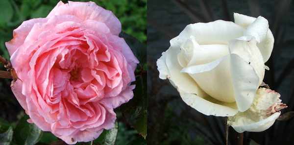 The white is a hybrid tea.