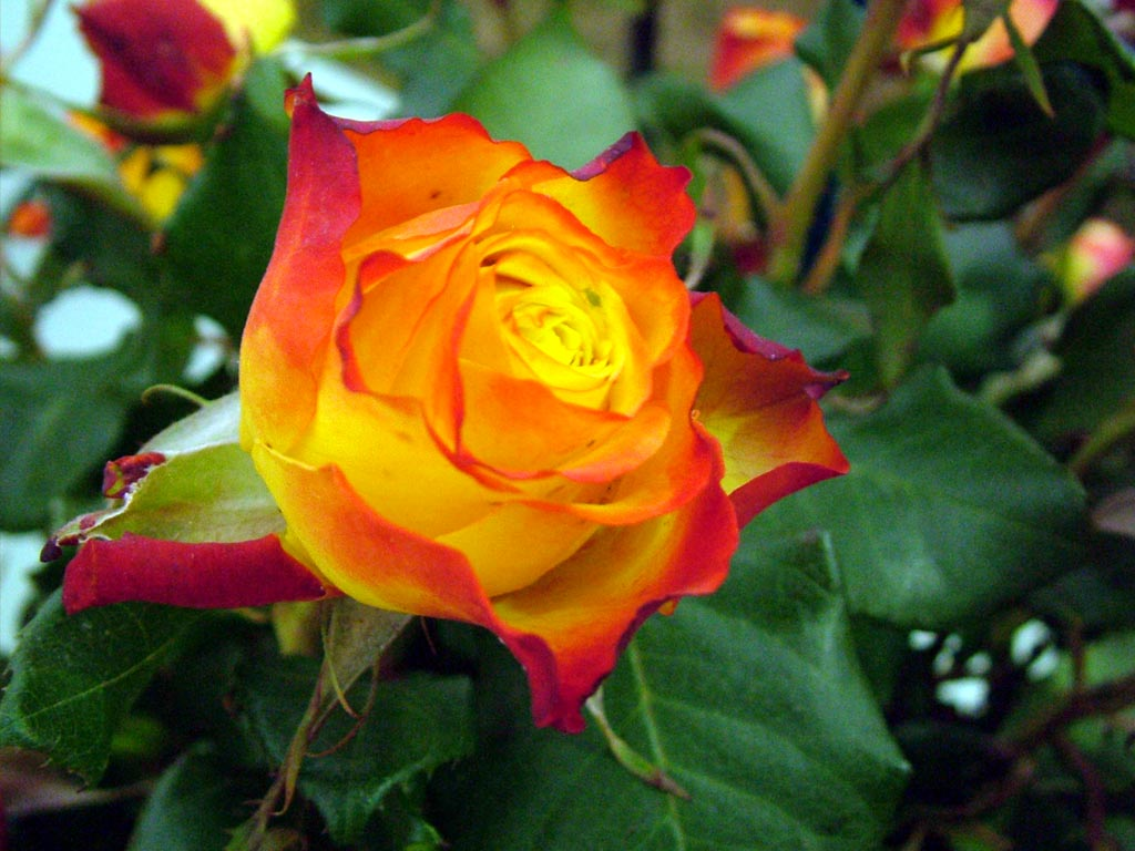 roses - photo #28