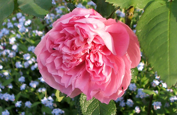 A beautiful English rose...