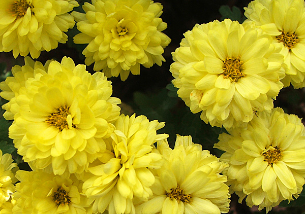 Yellow mums chrysanthemums such pretty little flowers mightylinksfo