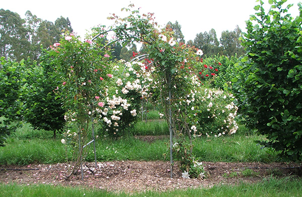 Roses and orchards go together.
