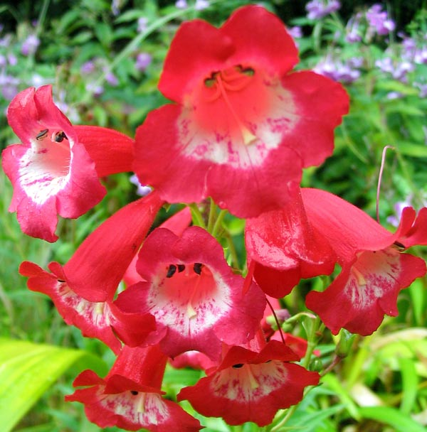 There is quite a group of  red flowers in the back of the Island Bed.