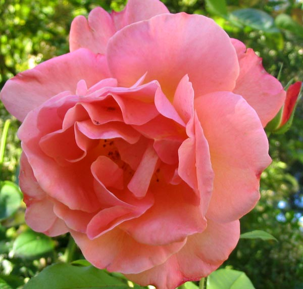 flower wallpaper rose. ROSE FLOWER PHOTOS
