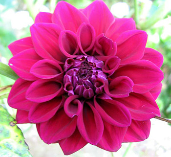 This cerise dahlia grows underneath my Graham Thomas roses.