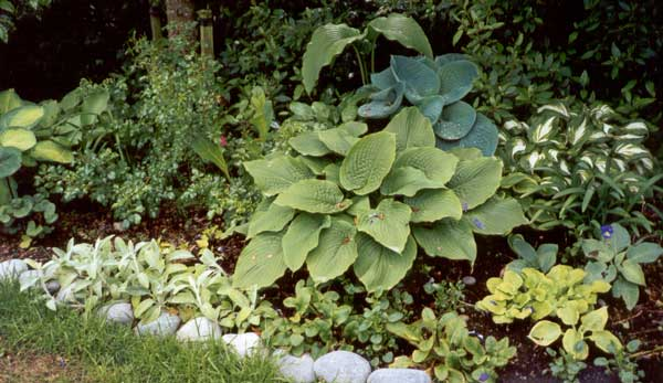 Mixed Hostas In The Hosta Garden   2000