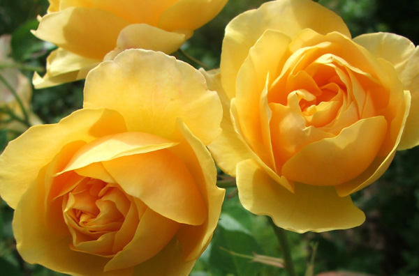 yellow roses pictures. Yellow Graham Thomas Roses