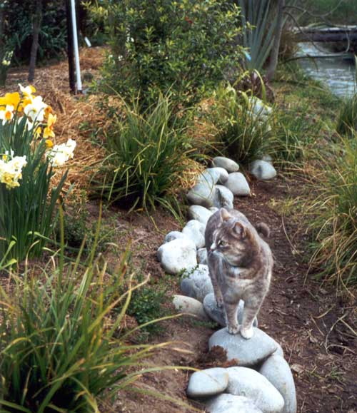 Daffodil Garden Path Cat