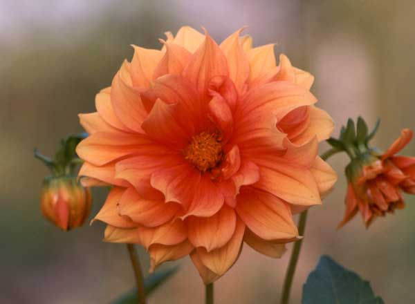 Dahlia Names of Flowers