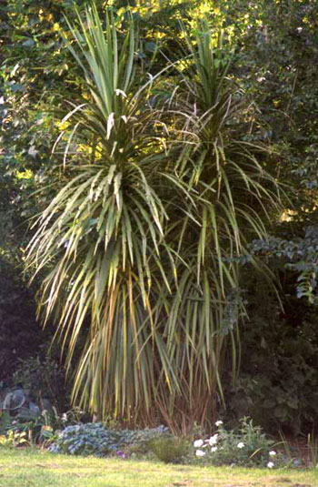 This forking cordyline was destined to be naturally scruffy.