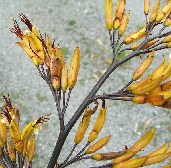 I think this is a phormium cookianum species flax.