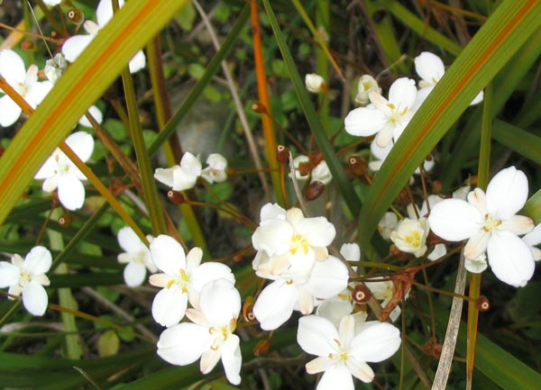 The white flowers are a delight in summer.
