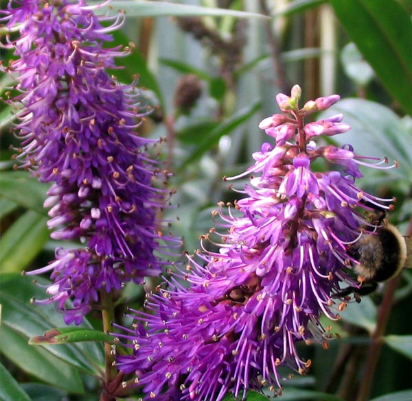 The bees love these purple flowers.