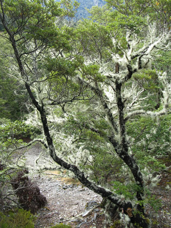 Covered with hanging lichen.