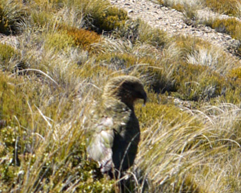 There he is, sitting in the tussock.