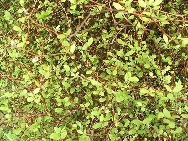 The New Zealand bush has many beautiful small-leafed texture plants.